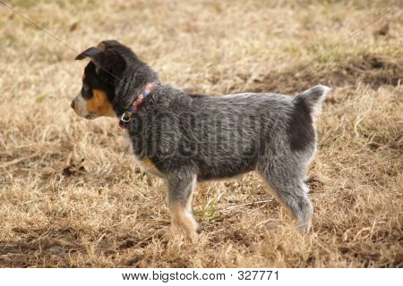 Blue Heeler Puppies on Austrailian Blue Heeler Puppy Stock Photo   327771   Bigstock