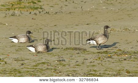 Three Brent Geese During Lowtide