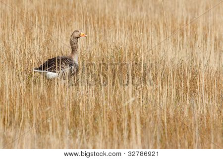 A Greylag Goose