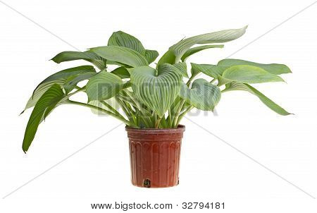 Isolated Plant Of A Blue Hosta