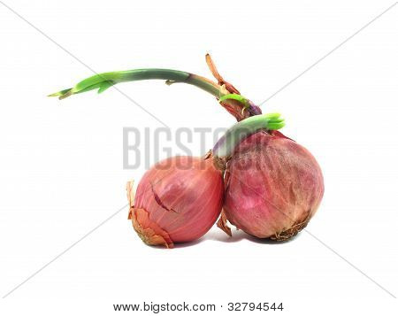 Two Shallots With Leaflet Sprout