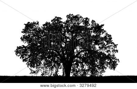Stock photo : Oak Tree Silhouette
