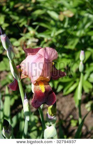 Claret Iris