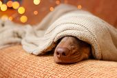 Dog Sleeps Under The Blanket Near Christmas Light. Close Up. Winter Concept poster