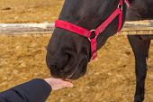 Person Feeding Horse Against Winter Rural Landscape. Womans Hand And Equine Head Close Up. Human An poster