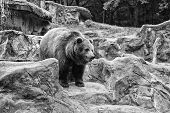Zoo Concept. Animal Wild Life. Adult Brown Bear In Natural Environment. Animal Rights. Friendly Brow poster