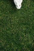 White Furry Bunny Rabbit On A Green Lawn Gets Ready For A Run. poster
