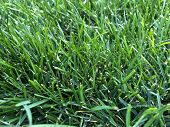Closeup Of Bright Green Grass Lawn. Photography Of Vegetation, Grass Background, Lawn Grass Texture. poster