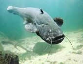 pic of musky  - Underwater photo big Catfish  - JPG