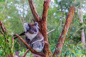 Koala or marsupial bear is a herbivorous marsupial mammal. Australia endemic. The only modern repres poster
