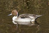 picture of pintail  - Northern pintail drake swimming in still water - JPG