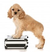 American cocker spaniel puppy standing on a suitcase or briefcase isolated on white background poster