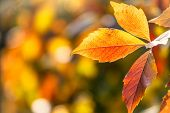 Maple Branches With Orange-yellow Leaves In Autumn, In The Light Of Sunset. Acer Negundo, Or Box Eld poster