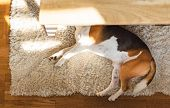 Beagle Dog Tired Lying Down Under A Table On The Carpet Floor. Adorable Canine Background, Top View. poster