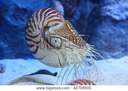 Nautilus With Extended Tentacles