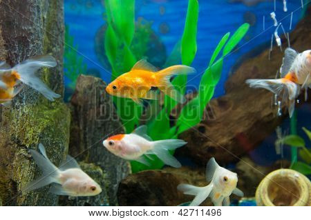 Gold fishes in aquarium