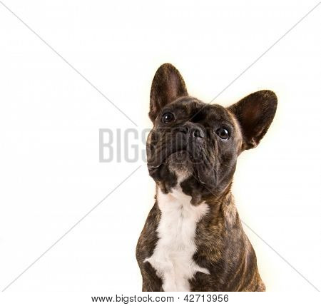 a french bulldog isolated on a white background