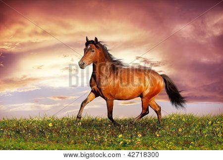 Beautiful brown horse running trot