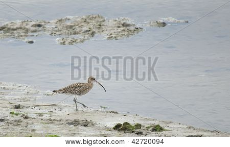 Whimbrel, Santona, Cantabria, Spain