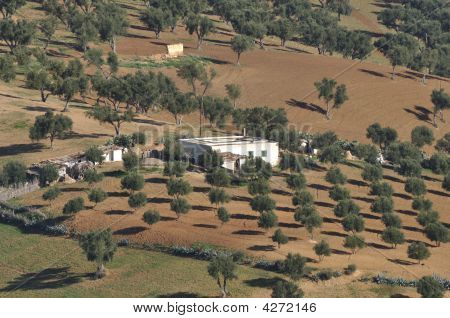 Olive Trees Plantation In Morocco