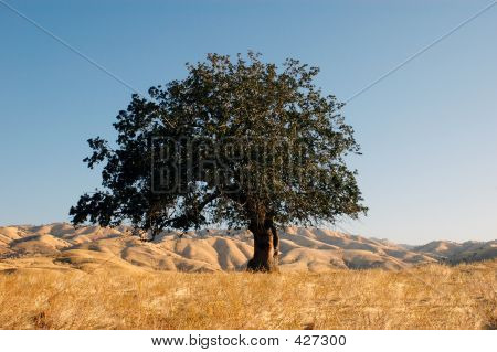 Mountaintop Oak Tree