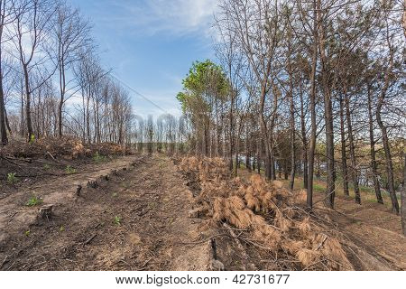 Pine Trees After A Forest Fire