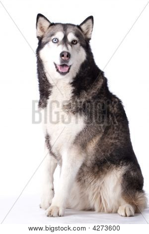 Crossbreed Dog Between Husky And Malamut Paying Attention