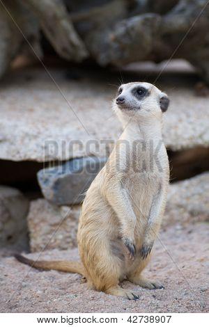 Portrait Of Slender-tailed Meerkat