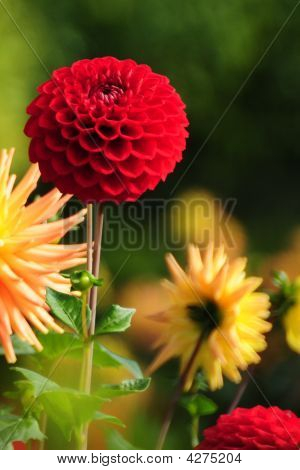 Blooming Dahlia And Chrysanthemum