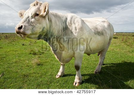 white cow into the field