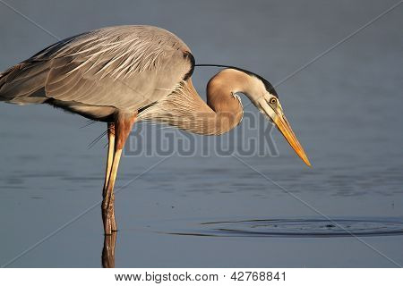 Great Blue Heron Stalking Its Prey