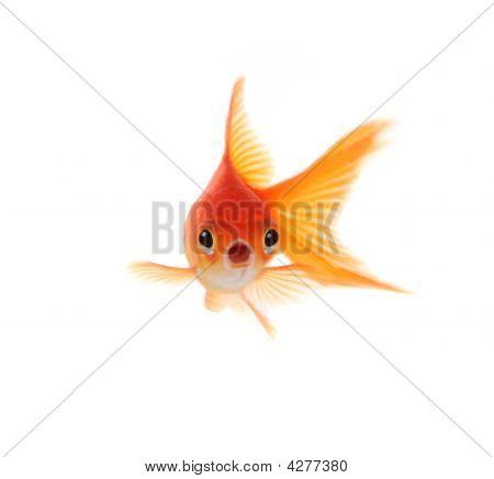 Goldfish sorprendido aislado sobre fondo blanco