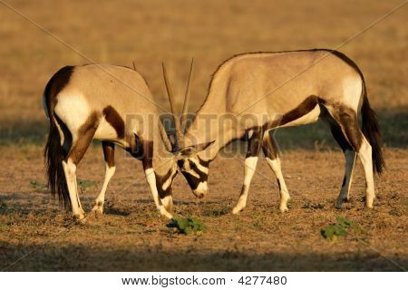 Fighting Gemsbok
