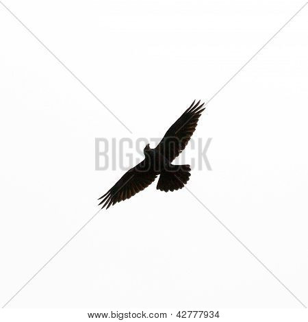 Common Raven Corvus corax flying isolated on white
