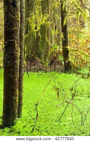 Rainforest wetland wildernis of West Coast BC