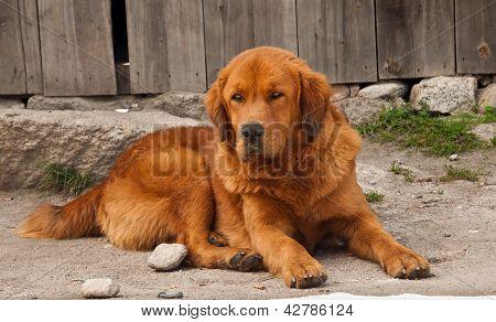 Large Himalayan Dog