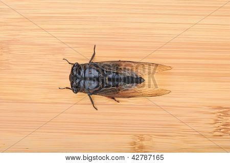 Cicada isolated on bamboo background