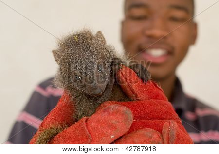 """Grey Mongoose Rescued From Traditional African """"muti"""" Animal Parts Trade"""