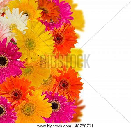 herbera flowers border