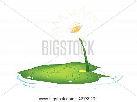 Beautiful Fresh White Lotus Flowers And Leaf