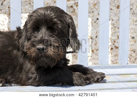 Scottish Terrier Lazing