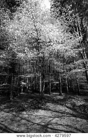 Tree In Forest (black And White)