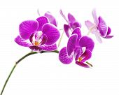 Very Rare Purple Orchid Isolated On White Background.
