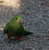 pic of king parrot  - Male Australian King - JPG