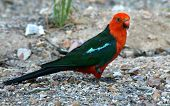picture of king parrot  - Male Australian King - JPG
