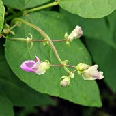 picture of phaseolus  - Pink flowers of beans  - JPG