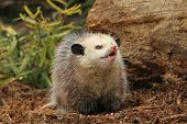 stock photo of opossum  - A Capture of a little opossum in a garden - JPG