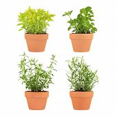 pic of hyssop  - Herb selection of marjoram lemon balm tarragon and hyssop growing in four terracotta pots over white background - JPG