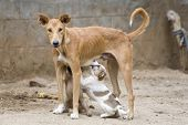 picture of emaciated  - Emaciated dog nursing it