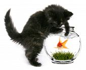 pic of fishbowl  - Black Cat Reaching Into Fishbowl With a Shocked Scared Goldfish Inside - JPG